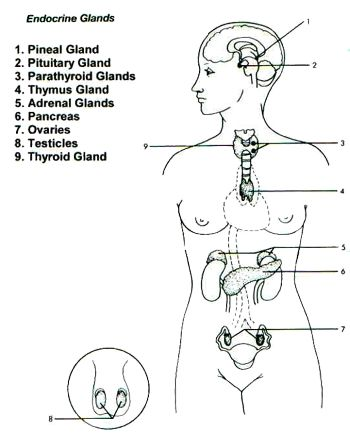The Endocrine System (Glands) and Yoga