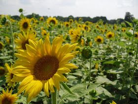 Wildflower Bouquets – Enjoy Simple Pleasures: Amazing Sunflower Field Near Catawba College in North Carolina