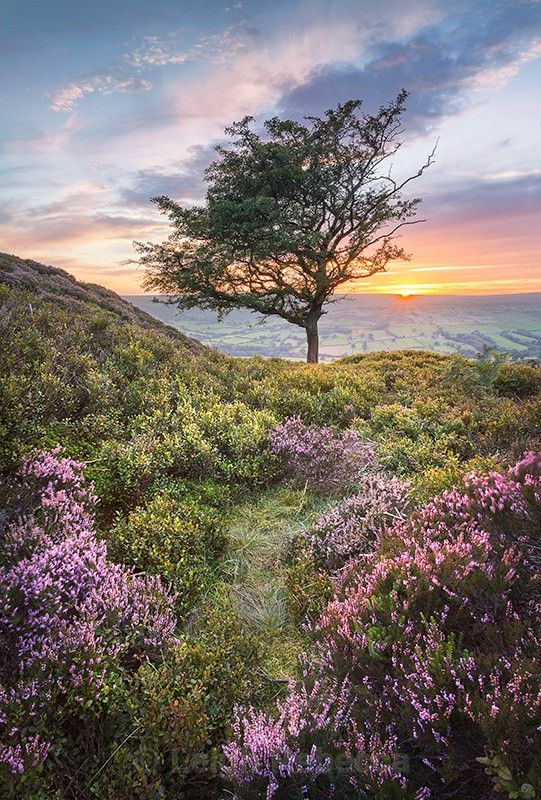 Heather and Hawthorn over Farndale, North Yorkshire, England. A solitary hawthorn tree provides a stark feature against the vivid sunset sky, while softer greens and purples lead the eye in through the foreground.