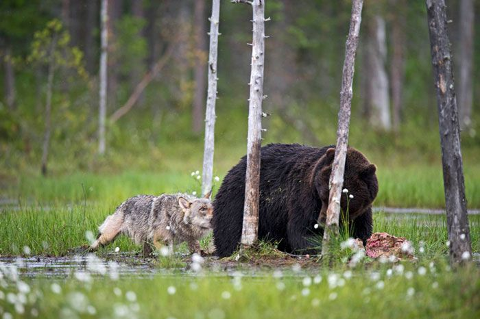 rare-animal-friendship-gray-wolf-brown-bear-lassi-rautiainen-finland-sniffing