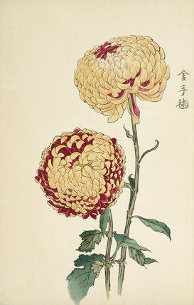 Printed illustration of a chrysanthemum variety taken from the Japanese publication A Hundred Chrysanthemums by K Hasegawa. Creator Hasegawa, Keikwa (Author) Date 1891