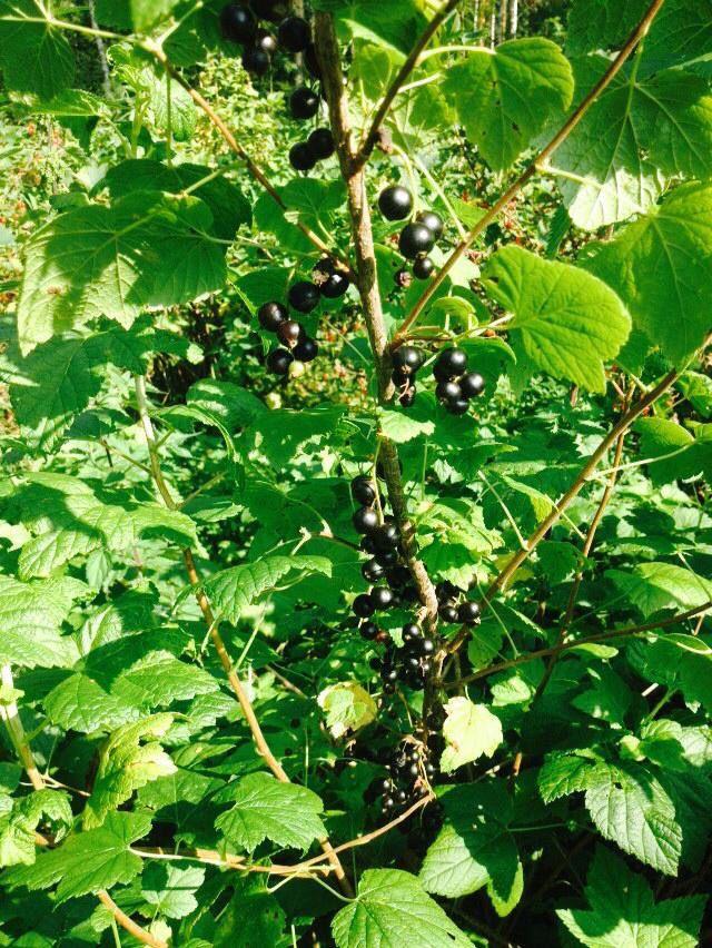 Musta viinimarja