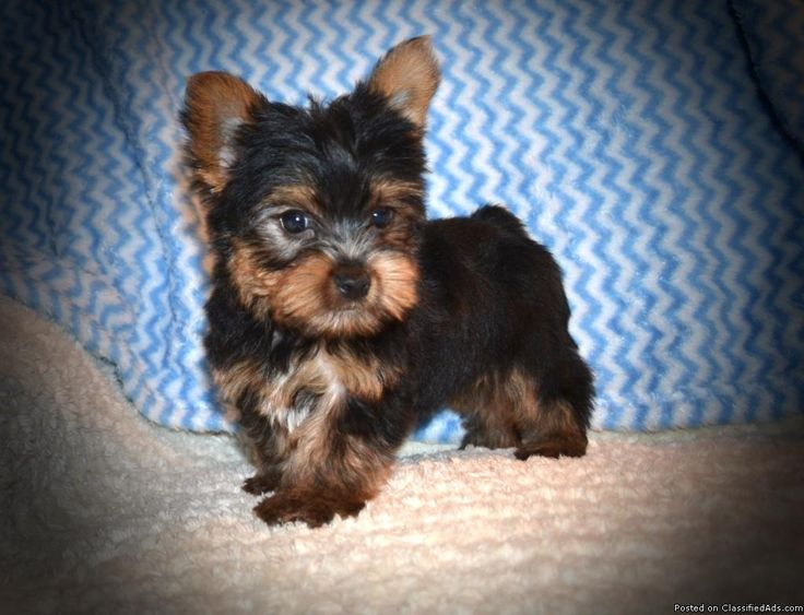 This is Presley. He is a tiny toymale Yorkie. His estimated adult weight is 3 to 5 pounds.He was born Jan. 3, 2017 and is ready for a new home now, his price has just been reduced. He comes up to date on shots and wormings and with registration papers. For more information view my website www.tkkennels.com. Call or text anytime 318-450-2148.