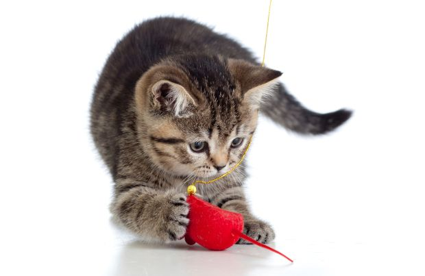 Exercising With Your Cat A How To Guide Cats Pet Insurance Cost Pet Parent