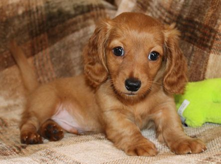 Garlin Miniature Dachshund Puppies for Sale, AKC Long-haired and Smoothes