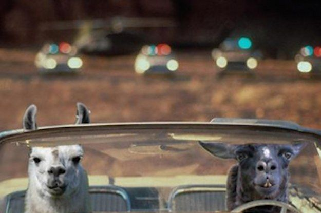 Two Llamas Went On The Loose And People Created So Many Hilarious Memes
