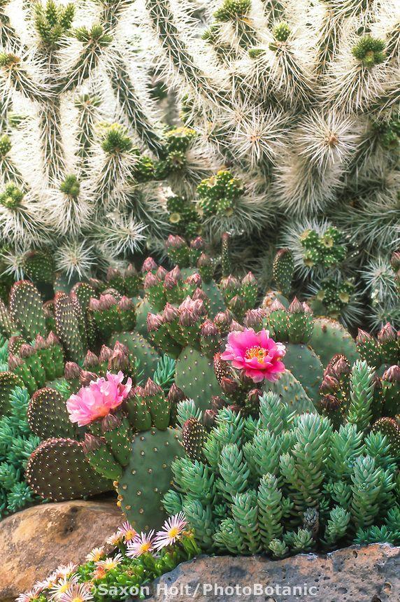 Colorado cactus drought tolerant succulent garden with flowering prickly pear - Opuntia basilaris, white spine Cylindropuntia whipplei, Sedum, Delosperma 'Keleidis'