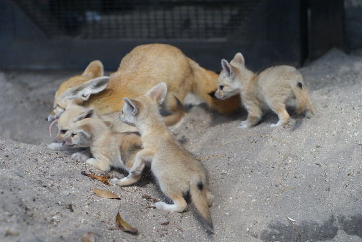 67 best images about fennec fox on pinterest december - Pagina da colorare fennec fox ...