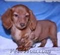 Picture of Dachshund, Miniatures Puppies From PetDoxie, Miniature, Teacup, & Standard Dachshunds in New Jersey