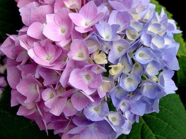 Hortenzie získajú modrú farbu, s týmto jednoduchým odpadom, ako je kávová usadenina