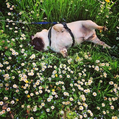 Happy pug in tiny daisies