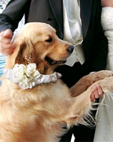 #Weddingdog #Golden retriever ToniK ❀Flowers in their coats❀