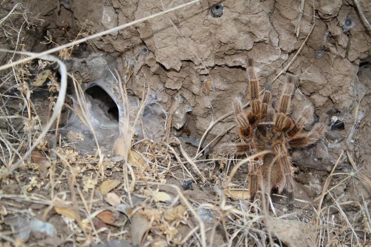 araña pollito y su telaraña