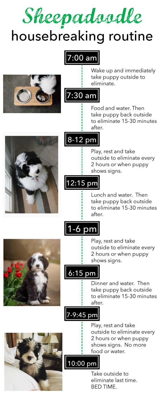 A Gentle Way To House Break Your Sheepadoodle Puppy Potty