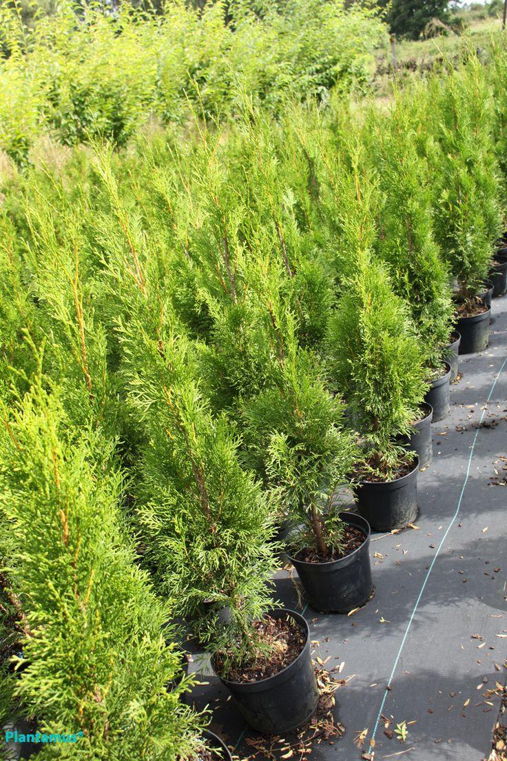 Thuja esmeralda. http://www.plantamus.es/ARBOLES-ARBUSTOS/venta-de-arboles/arboles-perennes