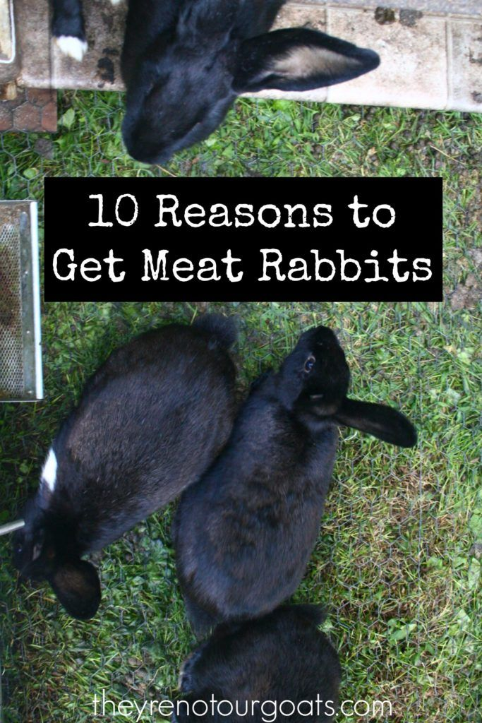 Meat rabbits! If you're new to home-butchering, the idea of raising a rabbit just to eat it probably sounds off-putting. However, there are many reasons why meat rabbits are a perfect choice …