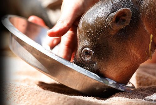 OK Zoo - Pigmy Hippo Baby