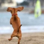 zip-a-dee-doo-dah: Animals, Dogs, Dachshund, Pets, Doxie, Funny, Puppy