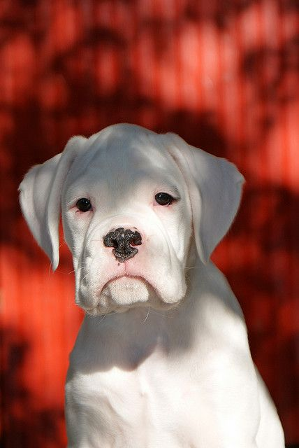 White Boxer Puppy - Dunway Enterprises - Training (click here) http://dunway.us/kindle/html/boxer.html