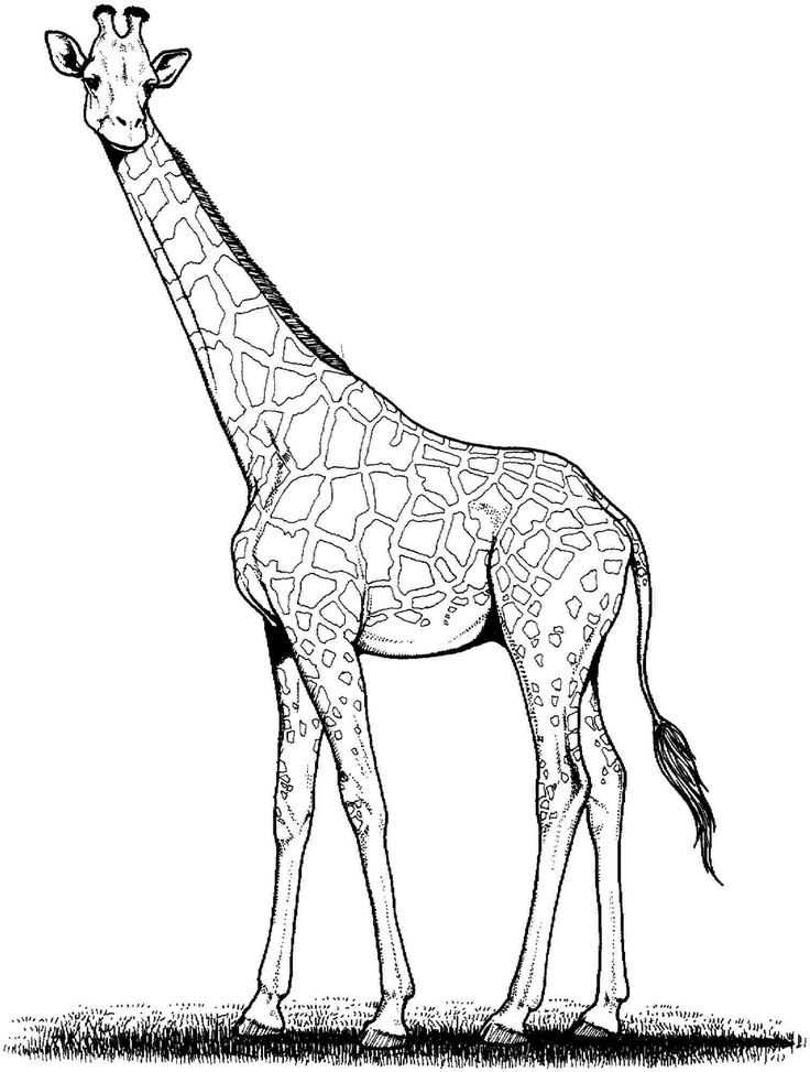 real giraffe coloring pages - photo#14