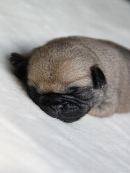 Sweet Mini Pug