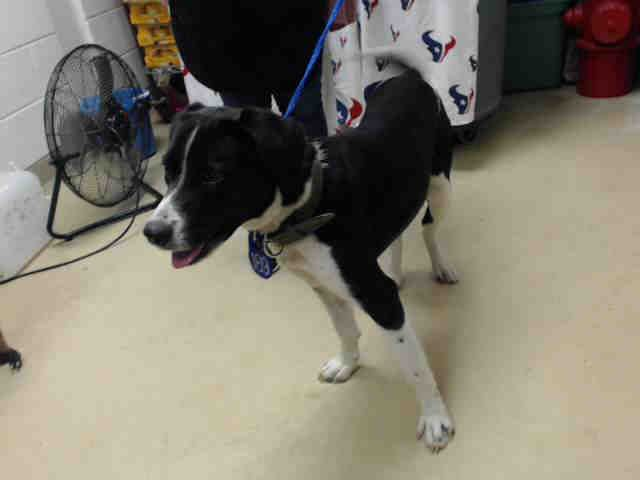 01/10/17 -VERY URGENT!!! PLEASE WATCH VIDEO AND ADOPT/RESCUE/FOSTER!! SUPER URGENT - HOUSTON FACILITY OVER CAPACITY ---This DOG - ID#A475468 I am a male, black and white Labrador Retriever. My age is unknown. Harris County Public Health and Environmental Services. https://www.facebook.com/harriscountyanimalshelterpets/videos/1385284784868649/
