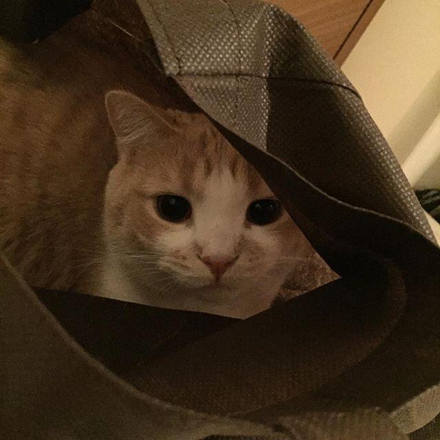 #マンチカン #munchkin #猫 #cat #pretty #cute #love #短足 #もふもふ #にゃんこ#แมว #gatto #gato #katze #Кот #Kucingnyan2wan22016/02/18 00:15:36