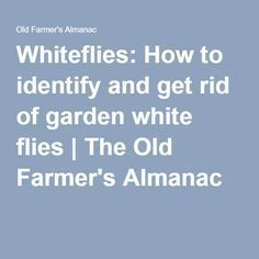 Whiteflies: How to identify and get rid of garden white flies   The Old Farmer's Almanac