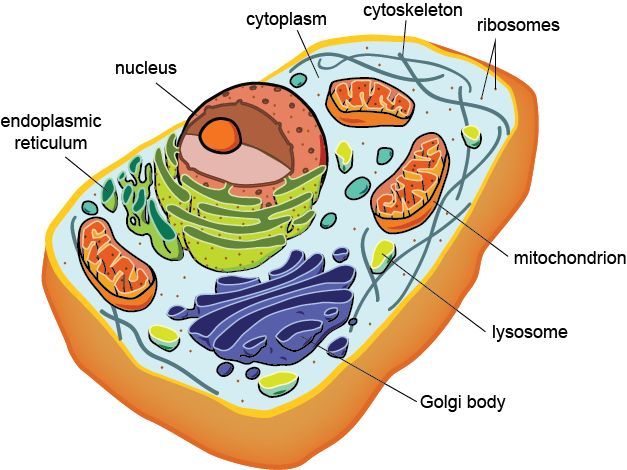 25+ best ideas about Human cell structure on Pinterest | Cell ...