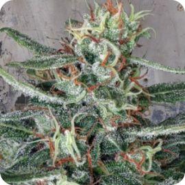 Crystal Cloud - strain - Ministry of Cannabis | Cannapedia