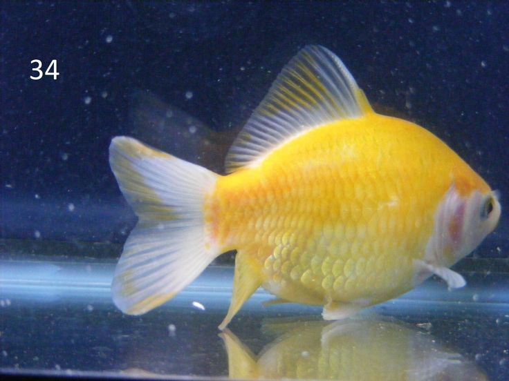 17 best images about yellow goldfish on pinterest dragon for What fish can live with goldfish