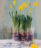 Narzissen: Deko-Ideen: Tassen als Töpfe für Narzissen | LIVING AT HOME