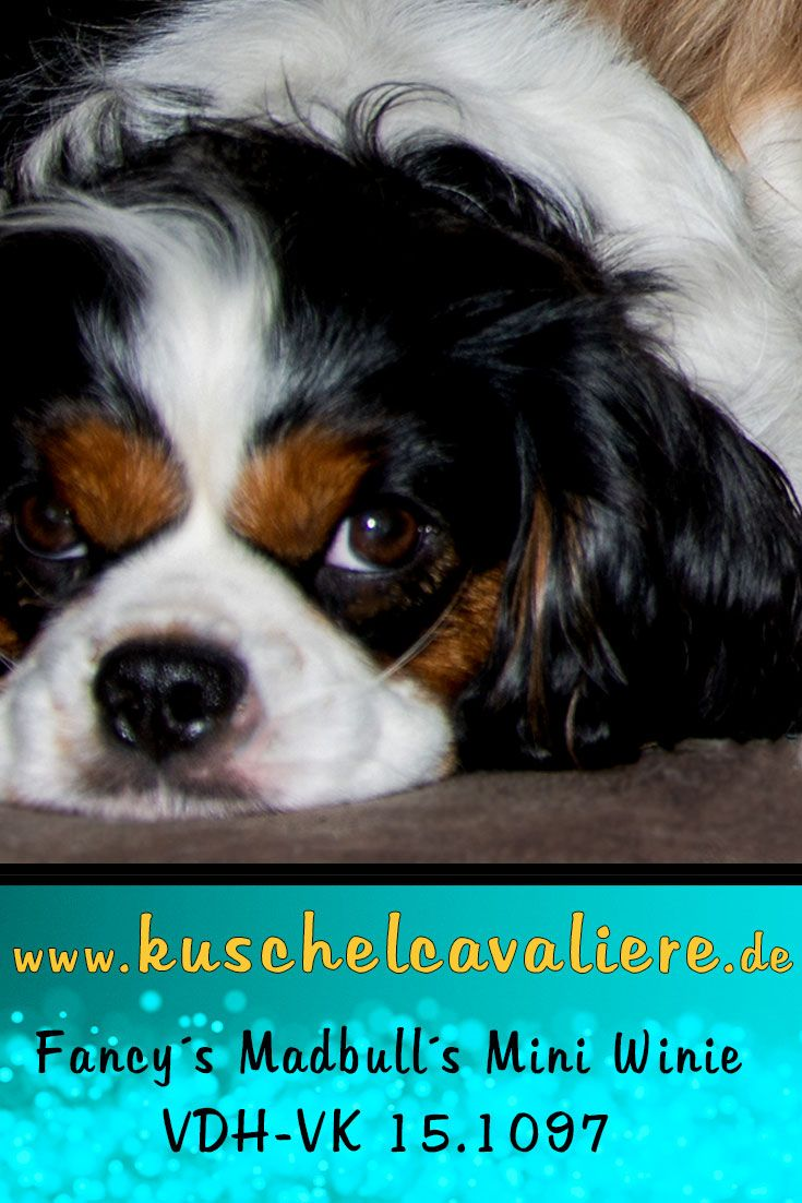 Aus Zaberfeld Kam Fancy S Madbull S Mini Winie Tricolor Cavalie King Charles Spaniel 2015 Zu Uns In 2020 Hunde Im Schnee Spaniel Cavalier King Charles Spaniel