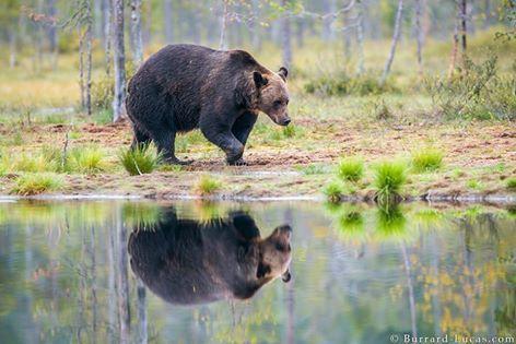 European brown bear, Finland