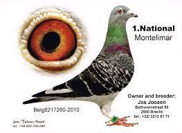 """Képtalálat a következőre: """"jos joosen pigeons"""""""