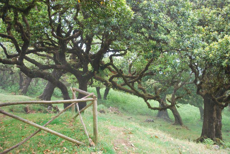 2000 years old trees on Madeira. Ocotea foetens.