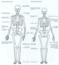 Мужской и женский скелет — Уроки рисования