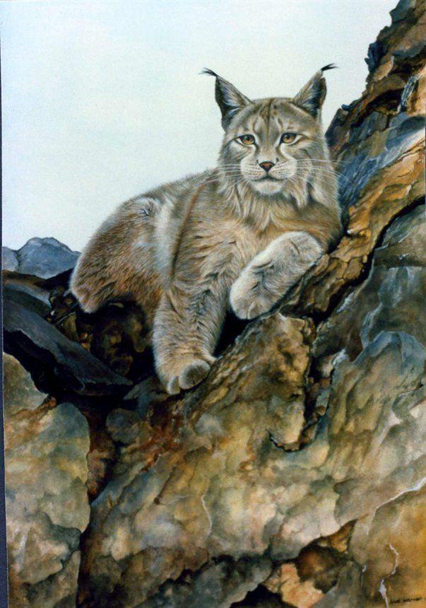 Sue Warner - Peintre et Dessinatrice Animalière - Huile - Lynx