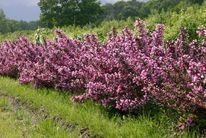 <c:out value='Rotblättrige Weigelie 'Purpurea' - Weigela florida 'Purpurea''/>