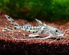 Image result for tropical freshwater aquarium ghost fish