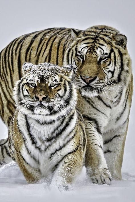Siberian #Tigers by Paul Keates. #love #romance