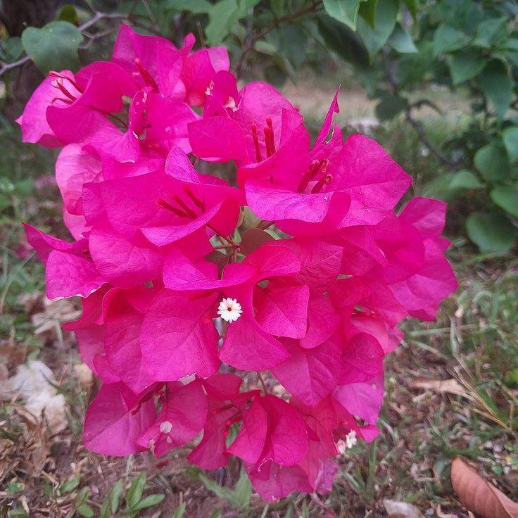 Boganwila  #fleur #boganwila #srilanka #srilankaise #srilankan #ceylon  #summer #summertime #instalike #instagood #igerslanka #igerssrilanka #nexus #nexusonly #fushia