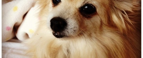 Pomeranian Rescue | Where Mommies of the Pomeranian Breed can gather, socialize and find organic home made dog treats