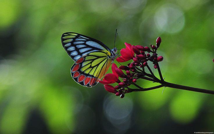 花にとまったスミゾメカザリシロチョウ