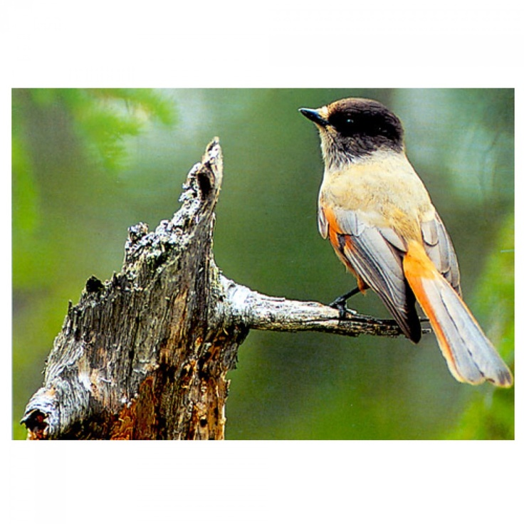 Kuukkeli - Siberian Jay