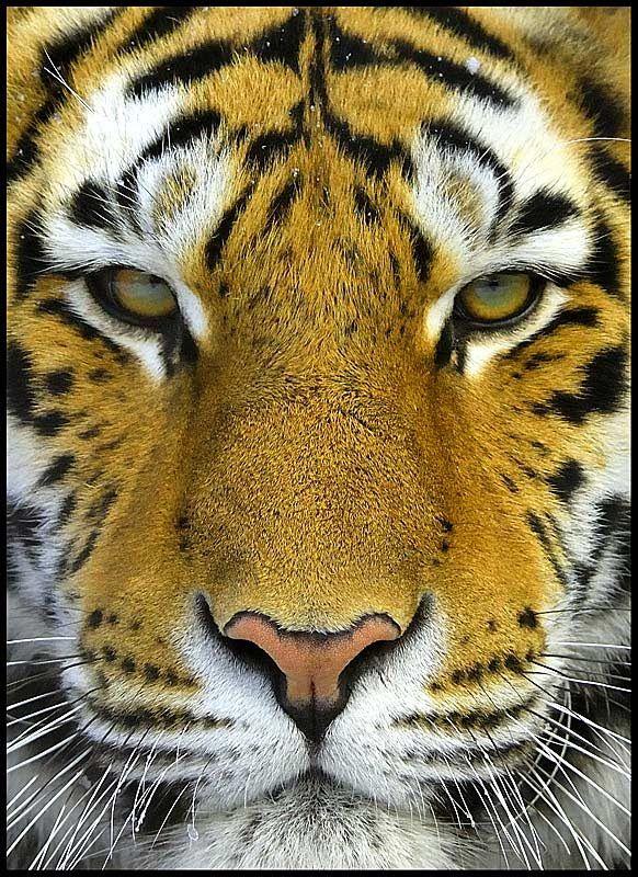 M s de 25 ideas incre bles sobre tigre de bengala en for Bengala asia