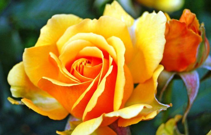 Gambar Bunga Mawar Kuning Yang Cantik