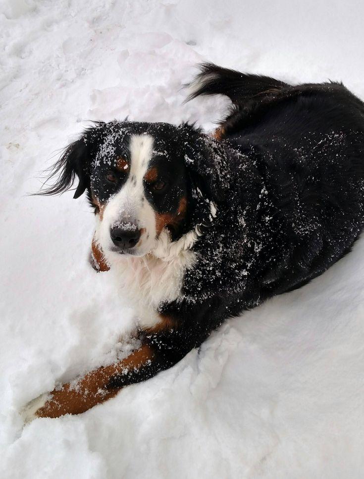 Minnesota May Not Be The Swiss Alps But Lady Seems Happy Vizsla