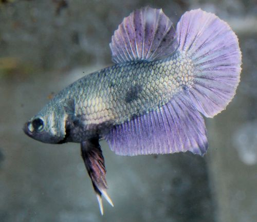 1000 images about bettas awesome fish on pinterest for All about betta fish