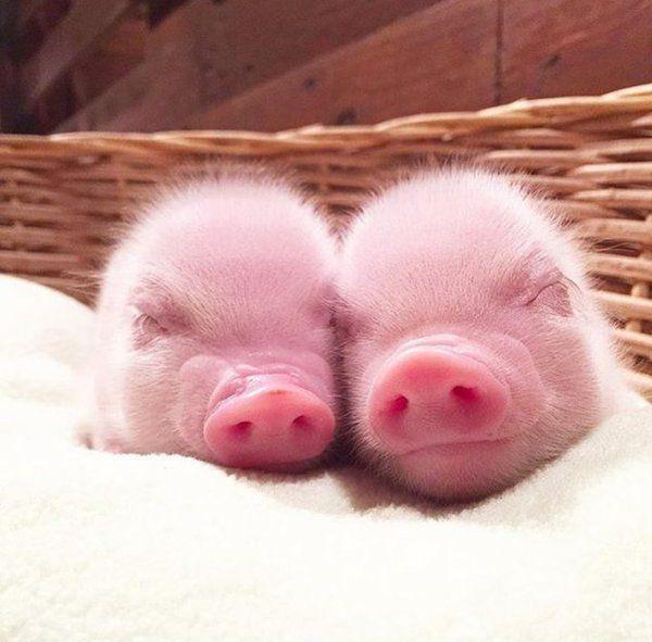 1186 besten schweine bilder auf pinterest schweine ferkel und schwein zeug. Black Bedroom Furniture Sets. Home Design Ideas